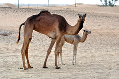 Two camels Stock Photo