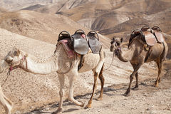 Two camels in the desert Stock Photos