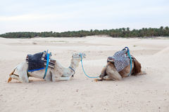 Two camels dromedaries resting on sand Stock Photography