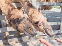 Two camels eating cow pea from children's hand Stock Images