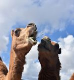 Two Camels Eating Together stock photo