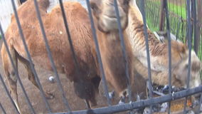 Two Camels eating in the zoo stock footage