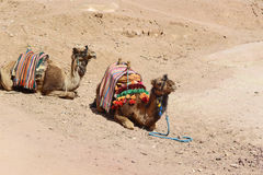 Two camels in Egypt desert Stock Images