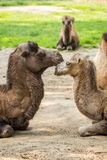 Two camels falling in love Royalty Free Stock Image