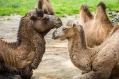 Two camels falling in love Royalty Free Stock Photography