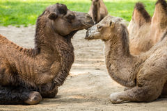 Two camels falling in love Royalty Free Stock Images
