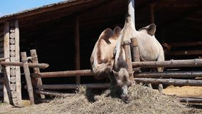 Two camels on farm. Eating stock footage