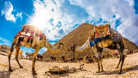Two camels in front of the great pyramid of Giza. Egypt, photo taken with a fisheye lens on a sunny december day Stock Photos