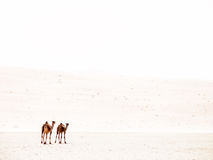 Two camels in high key. High key picture of two camels walking away stock images