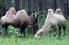 Two camels of the hot countries are contained in the Novosibirsk zoo. They have changed the wool royalty free stock photo