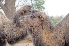 Two camels Royalty Free Stock Images