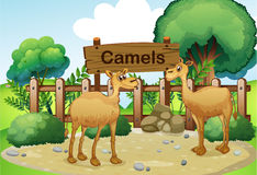 Two camels inside the wooden fence with a wooden sign board Royalty Free Stock Images