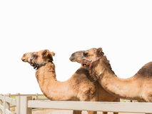 Two camels isolated Stock Photo