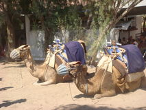 Two Camels Royalty Free Stock Photos