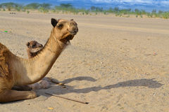 Two camels looking to distance Royalty Free Stock Photo