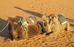 Two camels lying on the sand and chewing Royalty Free Stock Photo