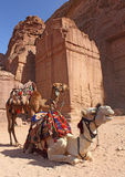 Two camels near ancient ruins in Petra Royalty Free Stock Photos