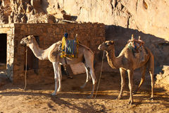 Two camels are near the home in the mountains Stock Photography