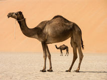 Two camels. One framing another with large dune in background stock photo