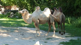 Two camels outdoors. Walking park stock video
