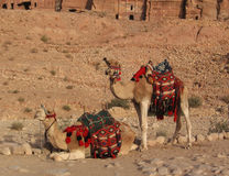Two camels in Petra Stock Photo