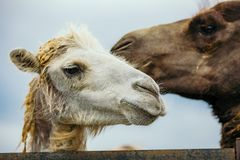 Two camels portrait. stock photos