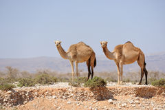 Two camels in the prairie of Socotra island, Yemen Stock Photos