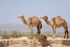 Two camels in the prairie of Socotra island, Yemen Stock Photo