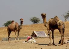 Two camels in Pushkar Royalty Free Stock Photography
