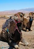 Two camels resting in the Sahara Desert. stock photo