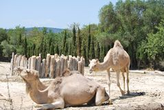 Two camels are resting on the sand with green trees in the wild Africa safari stock images