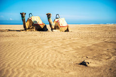 Two camels. On the sand dunes near the ocean Stock Photography