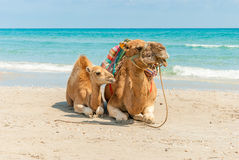 Two Camels Sitting on the Beach Stock Image