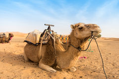 Two Camels sitting in the Desert Stock Photo