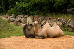 Two camels. Sitting on the groung Royalty Free Stock Images