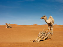Two camels talking. Two camels appear like they communicating stock photos