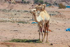 Two Camels traveling royalty free stock image