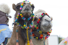 Two camels Royalty Free Stock Photo