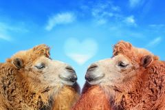 Free Two Camels With Love Royalty Free Stock Image - 133045766