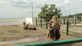 Two camels in the zoo. Asking for food from spectators stock video footage