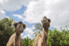 Two camels in a zoo Stock Photos