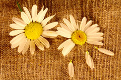 Two camomile flowers on the linen cloth Royalty Free Stock Image