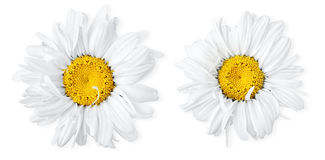 Two camomiles stock images