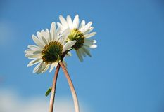 Two Camomiles. Looking at the blue sky Royalty Free Stock Image