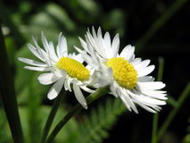 Two camomiles. Camomile flowers stock photo