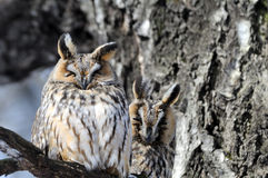 Two camouflaged Long-Eared Owls at birch tree in spring Royalty Free Stock Photos