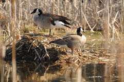 Two Canada geese Royalty Free Stock Images
