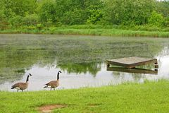 Two Canada Geese Stock Photos