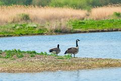 Two Canada geese - Branta canadensis. Two Canada geese Branta canadensis on the lake stock images