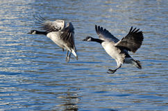 Two Canada Geese Coming in for Landing on the Lake Stock Images